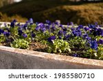 Blue And Purple Pansy Flowers...