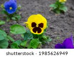 Wittrock's Yellow Violet Pansy...