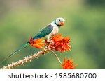 A Male Malabar Parakeet Feeding ...