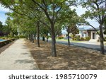 The Chinaberry Trees On The...