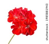 Red Geranium Flower Isolated On ...