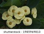 Flower Euphorbia Milii Thorny...