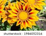 Yellow Gazania Flower Close Up. ...
