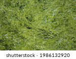 Green Algae Grass Kelp Gutwed...