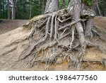 Exposed Tree Roots Due To Soil...