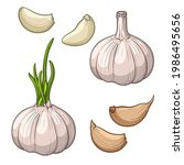 garlic isolated on a white...   Shutterstock .eps vector #1986495656