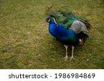 Closeup Portrait Of Peacock...
