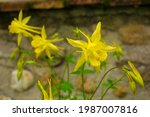 Yellow Aquilegia Flowers In...