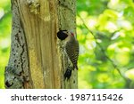 Small photo of The northern flicker and the nest cavity