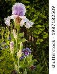 White And Lavender Iris Blossom ...