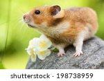 Cute Hamster  Syrian Hamster ...