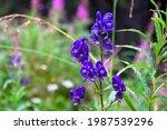 Violet Blue Flowers Aconitum  ...