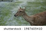 A Bawean Deer Is Also Known As...