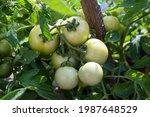 Green Unripe Tomatoes Are...