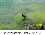 A Close Up Of A Coot  With Its...