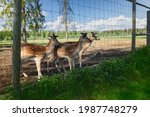 Sika Deer On A Reindeer Farm....