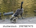 Canada Goose And Two Goslings...