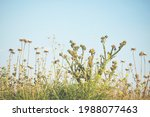 Thorny Weeds In A Meadow In...