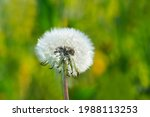 Dandelion In Close Up With A...