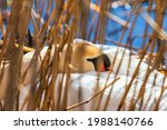 Mute Swan Resting In A Reed Bed