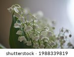 Lily Of The Valley Flowers With ...