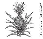 pineapple bush. sketch....   Shutterstock .eps vector #1988365619