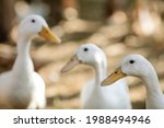 The White Duck Is Very Cute And ...