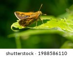 A Peck's Skipper Is Resting On...