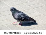 A Dove Walks On Paving Slabs ...