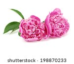 pink peony flower on a white... | Shutterstock . vector #198870233