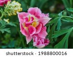 delicate pink tulips in the