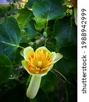 Small photo of Light yellow flower with orange circle and one petal apart of American tulip tree (Liriodendron tulipifera, tulipwood, tulip poplar, whitewood, fiddletree, or yellow-poplar) framed by green leaves