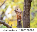 Autumn Squirrel Sits On A...
