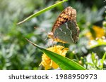 Butterfly Vanessa Cardui Sits...