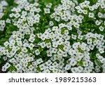 White Sweet Alyssum Flowers...
