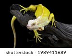 Closeup Of Albino Iguana On...