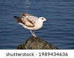 Seagull Bird On The Lake....