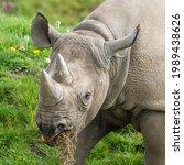 Eastern Black Rhino Standing On ...