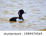 Tufted Duck In A Pond  Male...