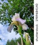 Iris Flower  Iridaceae  After...