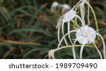 Hymenocallis Speciosa ...
