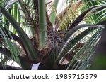 coconut in the tree garden    Shutterstock . vector #1989715379