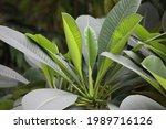green leaf in tree garden    Shutterstock . vector #1989716126