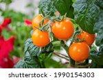 Ripe Tomatoes  Orange Cherry ...