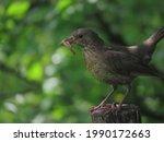 Female Blackbird  Turdus Merula ...