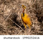 Cape Longclaw  Photographed In...
