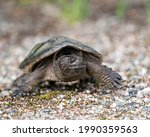Snapping Turtle Close Up...