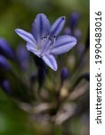 Close Up Of Violet Agapanthus...