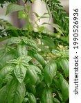 Basil Plant Background...