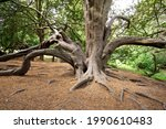 Old Twisted Yew Tree Example